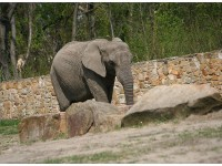Elephant in the Zoological Garden in Warsaw